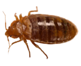 Bed Bug Exterminator in Milwaukee
