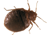 Photo of bed bug that has recently fed