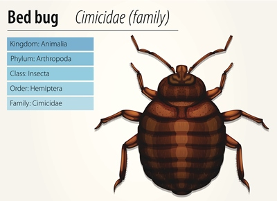 Bed bug scientific classification