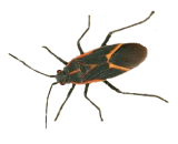Boxelder Bug Extermination in Milwaukee