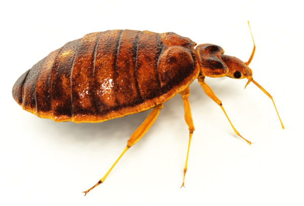 Bed bug closeup photo